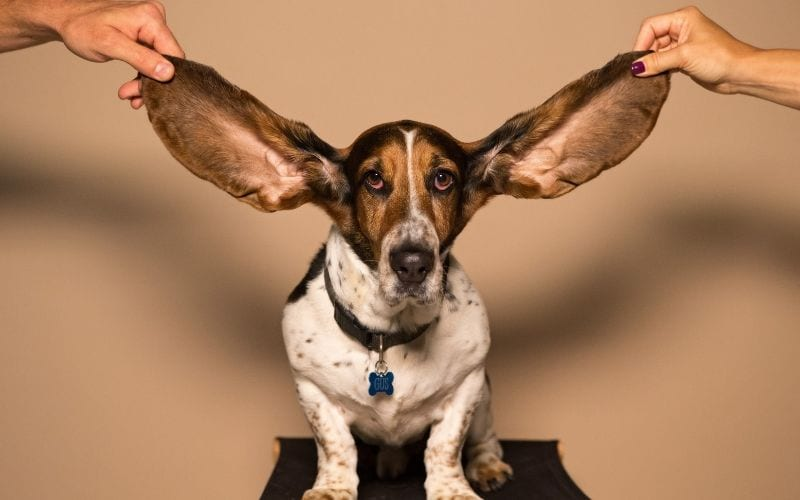 Dog ears music production headphones